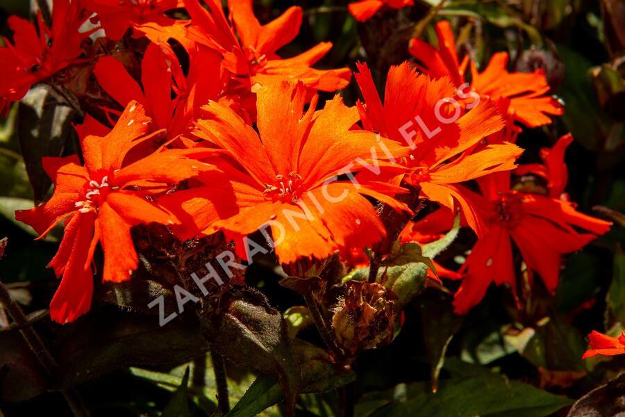 Kohoutek 'Orange Zwerg' - Lychnis x arkwrightii 'Orange Zwerg'