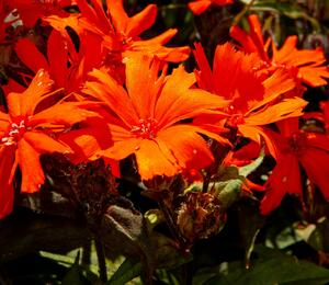 Kohoutek 'Orange Zwerg' - Lychnis x arkwrightii 'Orange Zwerg'
