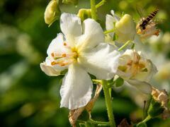 Divizna brunátná 'Flush of White' - Verbascum phoeniceum 'Flush of White'