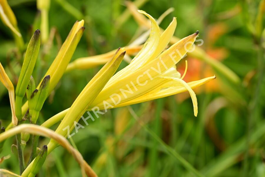 Denivka citrónová - Hemerocallis citrina