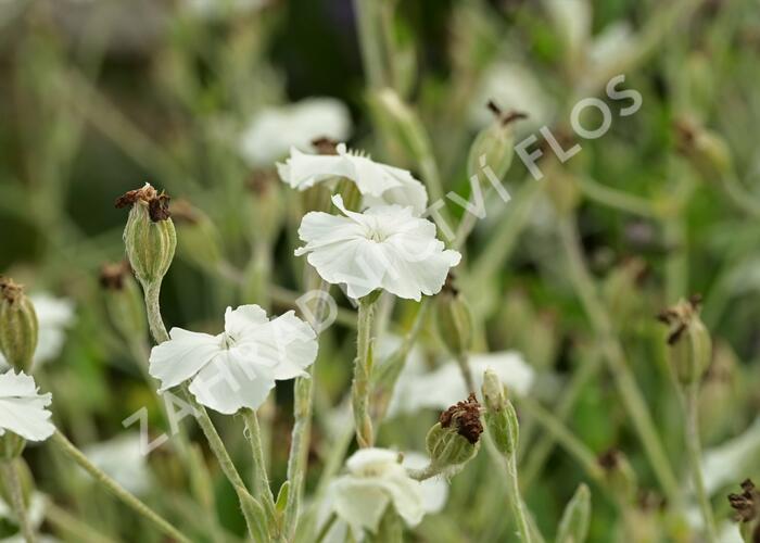 Kohoutek věncový 'Alba' - Lychnis coronaria 'Alba'