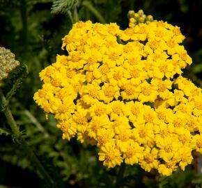Řebříček 'Little Moonshine' - Achillea hybridum 'Little Moonshine'