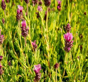 Levandule korunkatá 'Papillon Light Rose' - Lavandula stoechas 'Papillon Light Rose'