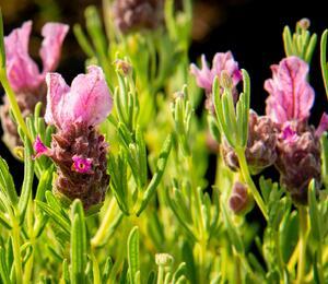 Lavandula stoechas 'Papillon Deep Rose' - Lavandula stoechas 'Papillon Deep Rose'