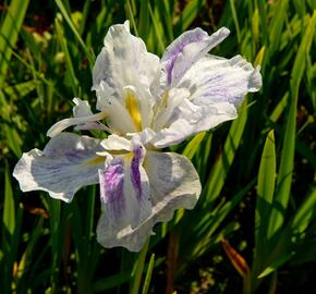 Kosatec mečovitý 'Angel Mountain' - Iris ensata 'Angel Mountain'