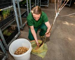 Ke kořenům přidáme vlhké piliny, abychom zabránili uschutí stromku.