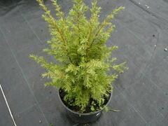 Jalovec obecný 'Meyer' - Juniperus communis 'Meyer'