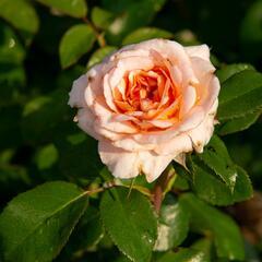 Růže mnohokvětá Kordes 'Schloss Eutin' - Rosa MK 'Schloss Eutin'