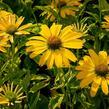 Třapatka nachová 'Papallo Classic Lemon' - Echinacea purpurea 'Papallo Classic Lemon'