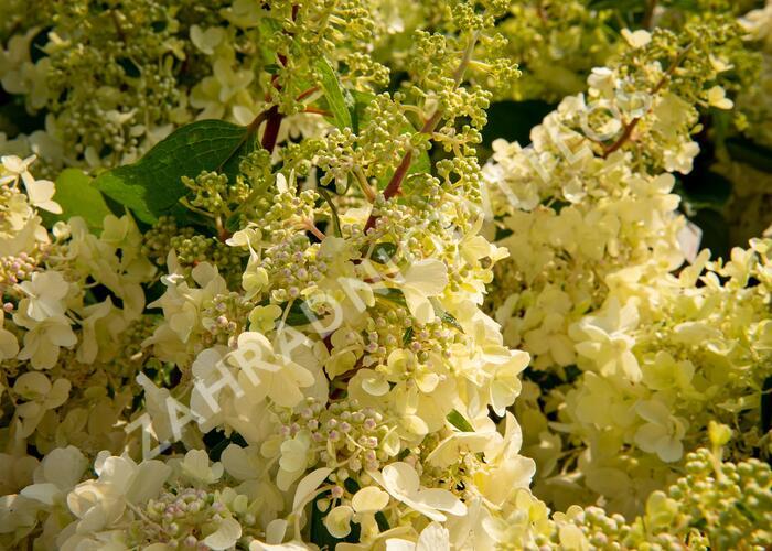Hortenzie latnatá 'Candlelight' - Hydrangea paniculata 'Candlelight'