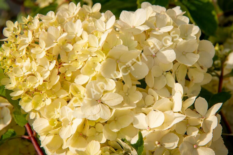 Hortenzie latnatá 'Vanille Fraise' - Hydrangea paniculata 'Vanille Fraise'