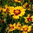 Krásnoočko velkokvěté 'Sunkiss' - Coreopsis grandiflora 'Sunkiss'