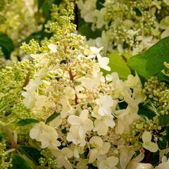 Hortenzie latnatá 'Pinky Winky' - Hydrangea paniculata 'Pinky Winky'