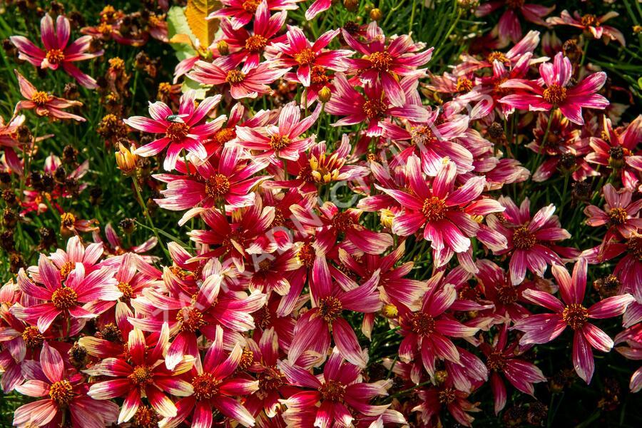 Krásnoočko přeslenité 'Sunstar Rose' - Coreopsis verticillata 'Sunstar Rose'