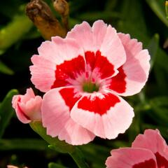 Hvozdík 'Peach Party' - Dianthus 'Peach Party'