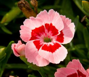Hvozdík 'Peach Party' - Dianthus 'Peach Party'