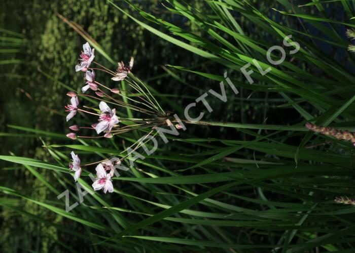 Šmel okoličnatý - Butomus umbellatus