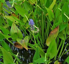 Modráska srdčitá - Pontederia cordata