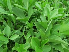 Vachta trojlistá - Menyanthes trifoliata