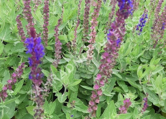 Šalvěj hajní 'Salute Blue' - Salvia nemorosa 'Salute Blue'