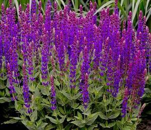 Šalvěj hajní 'Violette Königin' - Salvia nemorosa 'Violette Königin'