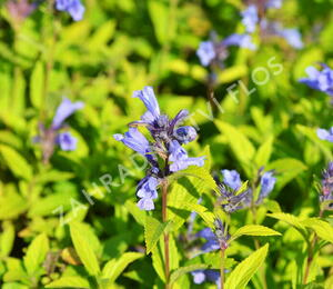 Šanta 'Weinheim Big Blue' - Nepeta 'Weinheim Big Blue'