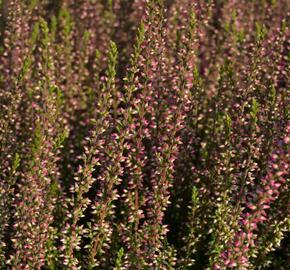 Vřes obecný 'Athene' (Garden girls®) - Calluna vulgaris 'Athene' (Garden girls®)