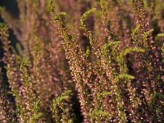 Vřes obecný 'Rosita' (Garden girls®) - Calluna vulgaris 'Rosita' (Garden girls®)