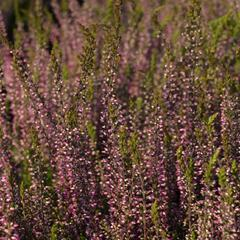 Vřes obecný 'Amethyst' (Garden girls®) - Calluna vulgaris 'Amethyst' (Garden girls®)