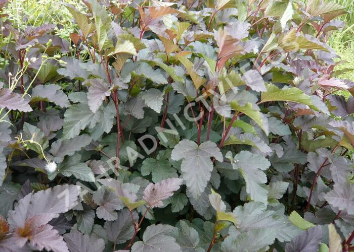 Tavola kalinolistá 'Purpurea' - Physocarpus opulifolius 'Purpurea'