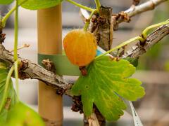 Angrešt žlutý 'Zebín' - Grossularia uva crispa 'Zebín'