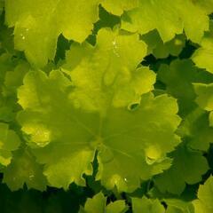 Dlužicha 'Beauty Leaves Fay' - Heuchera hybrida 'Beauty Leaves Fay'