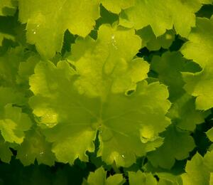Dlužicha 'Beauty Leaves Fay' - Heuchera hybrida 'Beauty Leaves Fay'