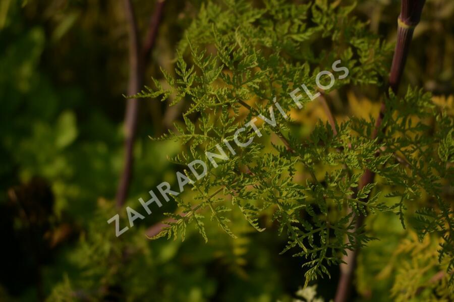 Olešník - Selinum wallichianum