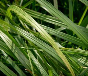 Dochan psárkový 'National Arboretum' - Pennisetum alopecuroides 'National Arboretum'