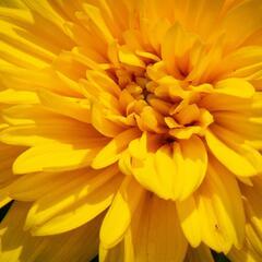 Slunečnice 'Sunshine Daydream' - Helianthus decapetalus 'Sunshine Daydream'