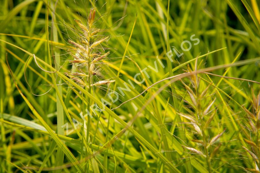 Dochan psárkovitý 'Hameln Gold' - Pennisetum alopecuroides 'Hameln Gold'