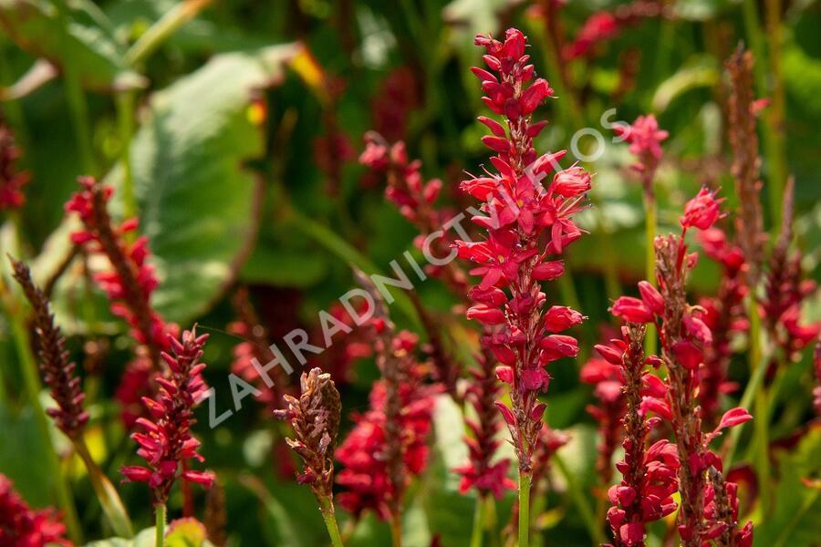 Rdesno 'Red Baron' - Bistorta amplexicaulis 'Red Baron'