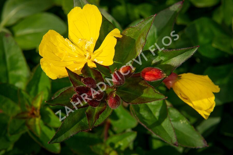 Pupalka 'Hohes Licht' - Oenothera tetragona 'Hohes Licht'