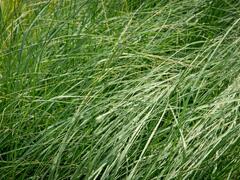 Milička 'Wind Dancer' - Eragrostis elliottii 'Wind Dancer'