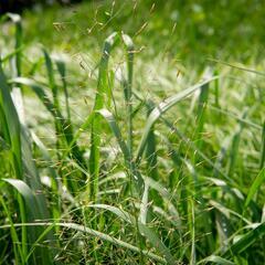 Milička 'Bent' - Eragrostis trichodes 'Bent'