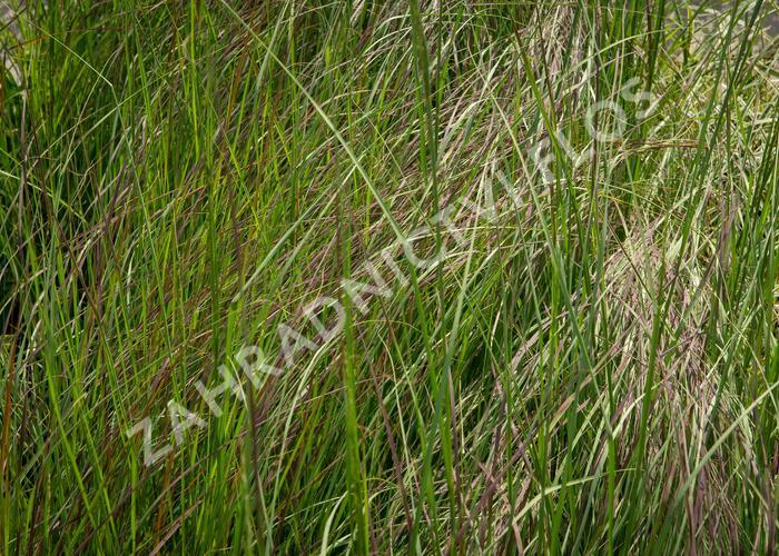 Milička 'Totnes Burgundy' - Eragrostis curvula 'Totnes Burgundy'