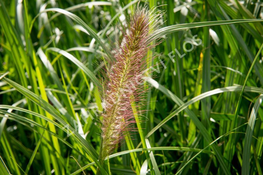 Dochan psárkovitý 'Red Head' - Pennisetum alopecuroides 'Red Head'