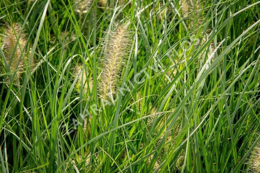 Dochan psárkový 'Gelbstiel' - Pennisetum alopecuroides 'Gelbstiel'
