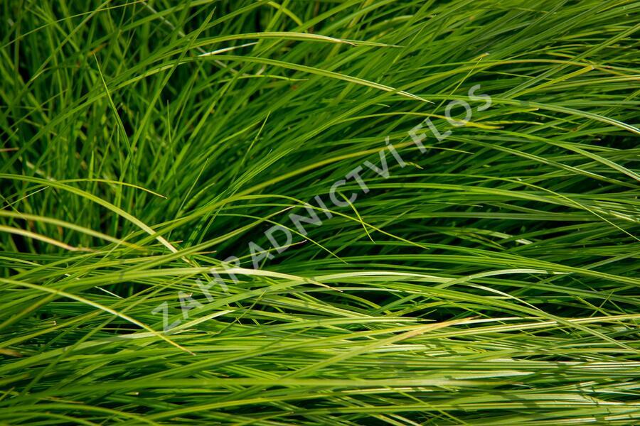 Ostřice - Carex bromoides