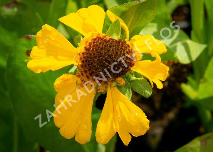 Záplevák 'The Bishop' - Helenium bigelovii 'The Bishop'