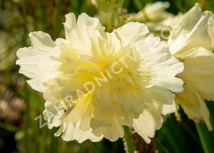 Topolovka růžová 'Ariella Yellow' - Alcea rosea 'Ariella Yellow'