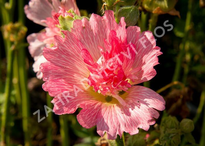 Topolovka růžová 'Ariella Rose' - Alcea rosea 'Ariella Rose'
