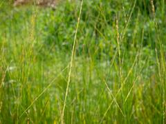Bezkolenec rákosovitý 'Fontaine' - Molinia arundinacea 'Fontaine'