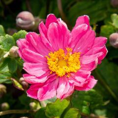 Sasanka 'Pamina' - Anemone hybrida 'Pamina'